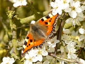Tortoise shell Butterfly on Whitethorn blossom.