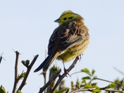 Yellowhammer in the hedge.