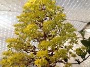 Aeonium flower