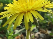 Dandelion in my garden