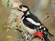 Great Spotted Woodpecker.