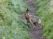 Hare on a misty morning