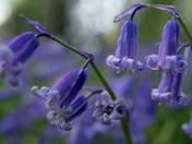 Bluebells close up