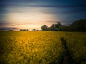 A rapeseed field in Swainsthorpe in bloom
