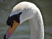 mute swan called Zeus