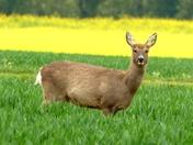 Roe deer hind in the wheat field.