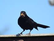 Blackbird feeding.