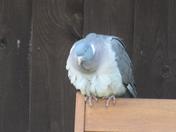 Woodpigeon resting.