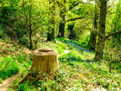 Bluebells in Coddenham a Suffolk