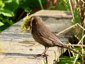 Blackbird collecting nesting material