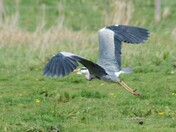 Heron at Bowthorpe