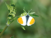 Orange Tipped Butterfly