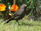 Blackbird hen still feeding.