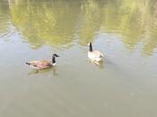 Geese in Barking Park enjoying the Spring Sun