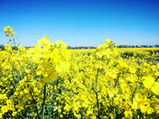 Project 52 Rape fields of Coltishall