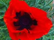 Poppy for VE day