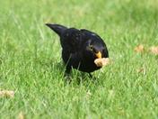 Blackbird still feeding brood.