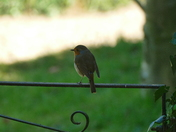 Robin on a gate