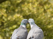 Woodpigeon lovers.