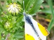 Male orange tip butterfly