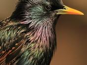 Starling portraits