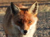 The stare of the Fox