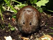 Victor The Meadow Vole