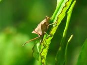 Dock Beetle