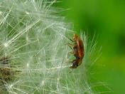 Fruitworm Beetle