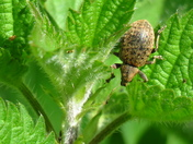 Clay-Coloured Weevil