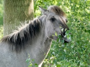 Konik Poines at Redgrave Fen