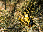 Swallowtail Arrival at Hickling Broad.