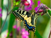 A feeding swallowtail at Hickling Broad.