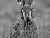 Hares and Barn Owl
