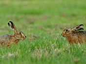 Hares and Barn Owl
