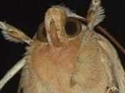 Moth (like an Owl)