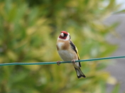 Nest building Goldfinch.
