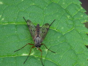 Downlooker Snipefly