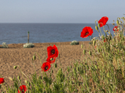 Spectacular poppy display on Felixstowe Seafront