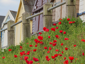 Spectacular poppy display on Felixstowe Seafront