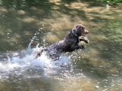 Dog having fun in a river