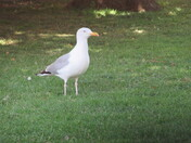 Seagull in the park