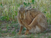 Brown hare having a foot wash