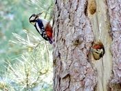 Great spotted baby woodpecker Peeping out the nest hole waiting for his food