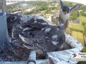 Cathedral young peregrines