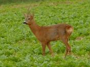 Roe Deer Stag in the sugar beet crop.