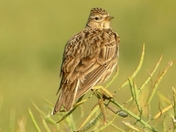 Skylark on Rape seed pods.