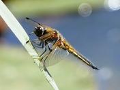 Dragon fly.