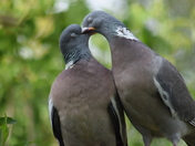 Woodpigeon lovebirds.