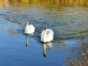 PROJ 52, WATER, SWANS ON THE WENSUM